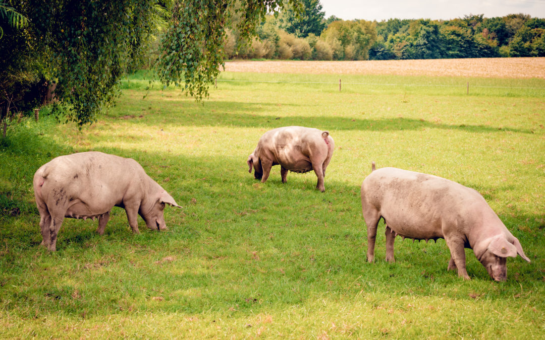 This Basingstoke biotech is leading the fight against African Swine Fever